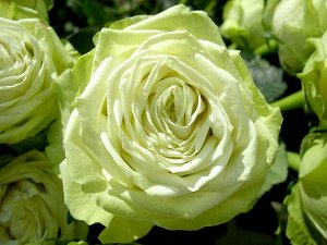 Роза Зеленый чай