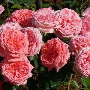 Роза «Кимоно»