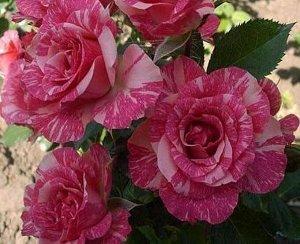 Роза спрей pink flash