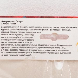 """Амариллис """"Пьеро"""", р-р 22/24, 1 шт"""