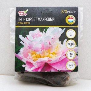 """Пион """"Сорбет"""" махровый трехслойный, р-р 2/3, 1 шт"""