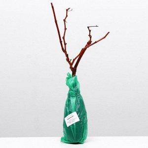 Саженец винограда Ркацители 1 шт   , Весна 2021