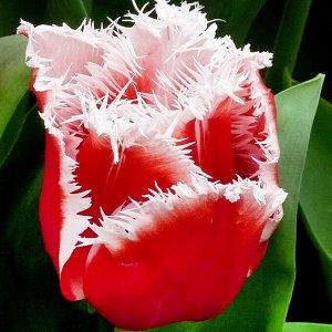 Тюльпан Нью Санта