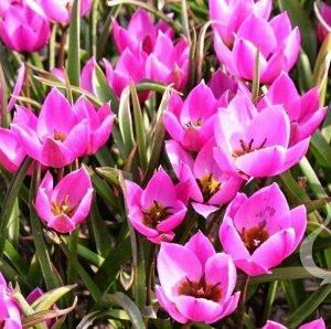 Тюльпан Хелен
