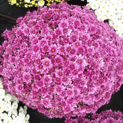 Урожайные сорта Клубники*Рассада крепкая*укорененная* — Хризантемы Мультифлора Проверенные сорта — Декоративноцветущие