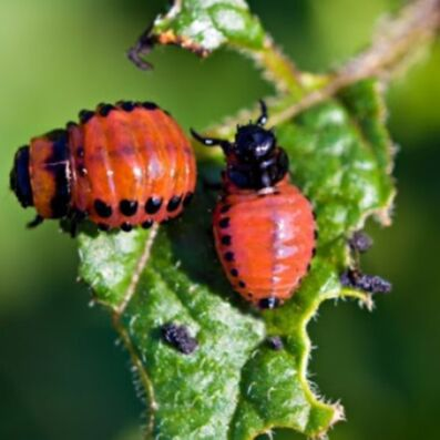 🆘 Травим тараканов, комаров, блох, садовых вредителей и др — Средства от садовых вредителей — Защита от вредителей
