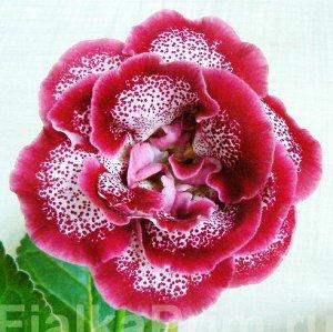 Глоксиния Крупные махровые белые цветы с красным крапом  и тёмно - красными (багряными) мазками по лепесткам, по краям лепестков кайма такого же цвета.  (Описание автора).