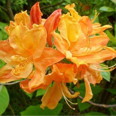 Растения! Выгодные цены! Ограниченное количество! Выбор!  — Различные декоративные деревья и кустарники — Декоративноцветущие