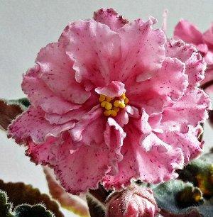 Фиалка Очень крупные, полумахровые цветы, необычного палево-розового цвета с земляничной каймой напыления и такого же цвета штрихов по всему цветку, в прохладных условиях проявляется зеленоватая каёмо