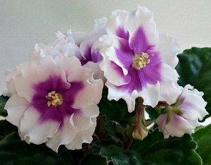 Фиалка Крупные полумахровые белые цветы, украшены красивым сиреневым глазком в центре цветка, хорошие цветоносы, обильное цветение шапкой. Аккуратная розетка из зелёных листьев. (Описание автора).