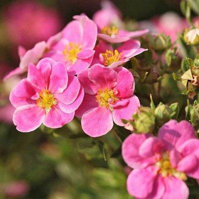 Растения! Выгодные цены! Ограниченное количество! Выбор!   — Лапчатка — Декоративноцветущие