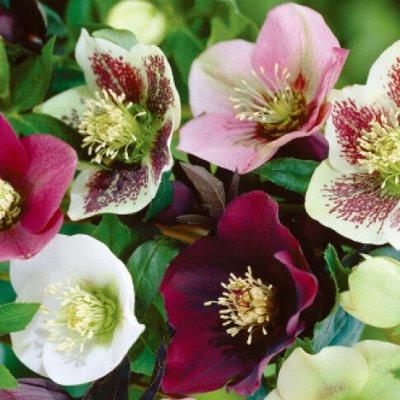 Растения! Выгодные цены! Ограниченное количество! Выбор!  — Морозник — Декоративноцветущие