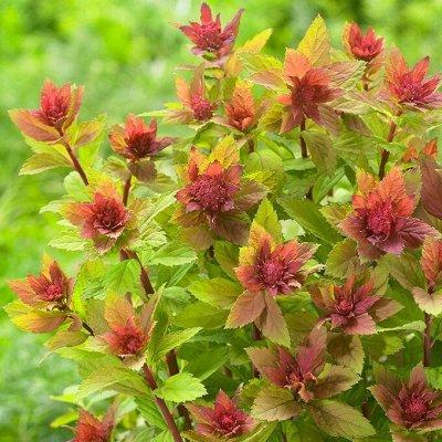 Растения! Выгодные цены! Ограниченное количество! Выбор!   — Спирея — Декоративноцветущие