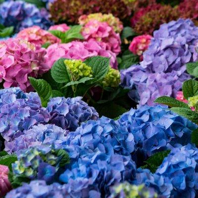 Растения! Выгодные цены! Ограниченное количество! Выбор!  — Гортензии — Декоративноцветущие