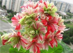 Mallorka Пеларгония зональная «Мальорка» – кактусовидная пеларгония с яркими, звездчатыми, двухцветными, полосатыми цветами, часто с зеленой серединкой. Цветы нарядные махровые собраны в очень крупные