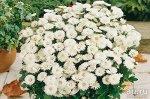 Хризантема, Мультифлора Baltica White