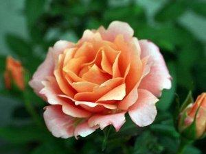 Роза лососёвая