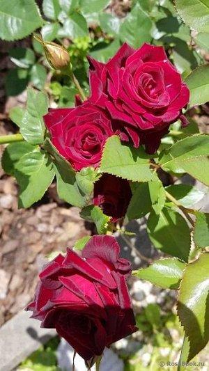 Роза бордо районированная в нашем климате!!! карлик можно выращивать дома и в саду прекрасно зимует при укрытии