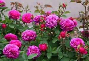 Роза фуксиевая крупная
