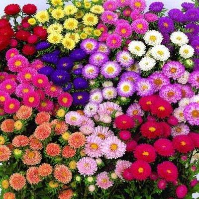 🌱Семена Партнер. Лучшие. Самые результативные!🌱 — Астры от Семко — Семена цветов
