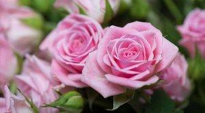 Роза бледно розовая