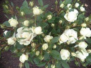 Роза белая Районированная в нашем климате!!! карлик можно выращивать дома и в саду прекрасно зимует при укрытии