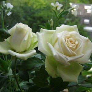 Роза бело-фисташковая средняя