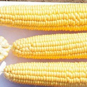 Кукуруза суперсладкая Сливочный нектар F1 (Вкуснятина) (15шт)