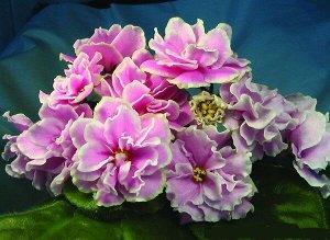 Ек Ирина Описание автора сорта ЕК-Ирина: Очень крупные (5-6см) волнисто-рельефные белые цветы с розовым излучением из центра цветка. В прохладных условиях проявляется зелёный кант. Изумрудно-зелёная в