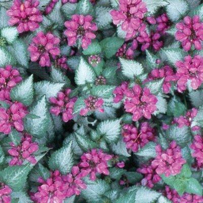 Крутые многолетние и однолетние черенки! Предзаказ Весна — Цветы свободное — Декоративноцветущие