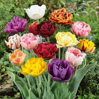 Рассада Махровых тюльпанов Экспресс — Рассада тюльпанов с листвой