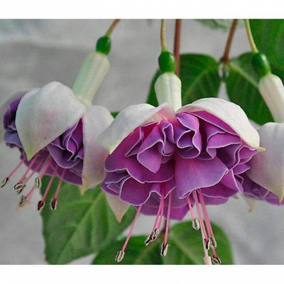 Цветочный дворик 💐 — Фуксии — Декоративноцветущие