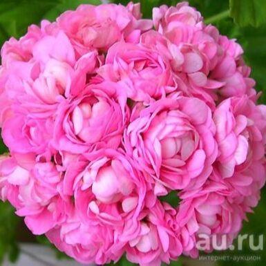 Цветочный дворик 💐 — Пеларгонии — Декоративноцветущие