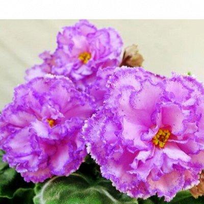 Цветочный дворик 💐 — Фиалки — Декоративноцветущие