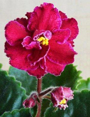Фиалка Полумахровые, махровые крупные красно - малиновые цветы с бордовой каймой- фэнтези и тонким белым кантом. Средне - зелёная листва с красной изнанкой, жёлто - оливковая кроновая пестролистность.