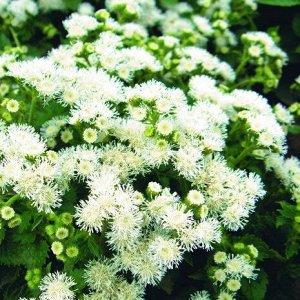 Цветы Агератум Сноу Болл (0,1г)