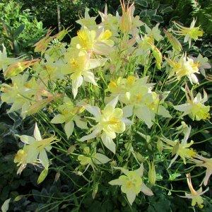 Цветы Аквилегия гибридная Жёлтая звезда 0,05г Поиск