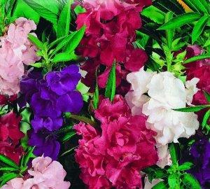 Цветы Бальзамин Камелия, смесь (0,2г)