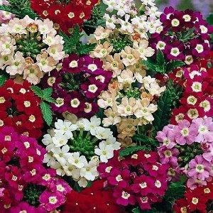 Цветы Вербена Идеал, смесь (0,2г)