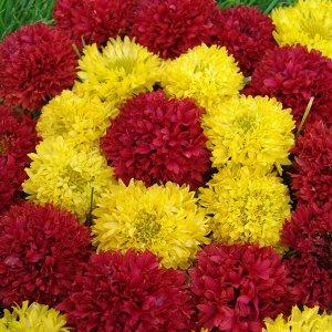 Цветы Гайлардия красивая Жар-Птица смесь (20шт)
