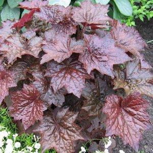 Цветы Гейхера Пурпурный замок (0,01г) (10шт)