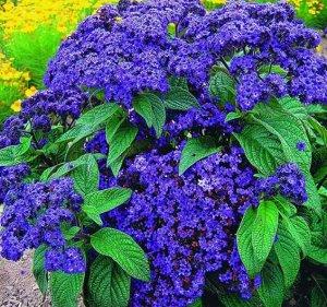 Цветы Гелиотроп Морской бриз (50шт)