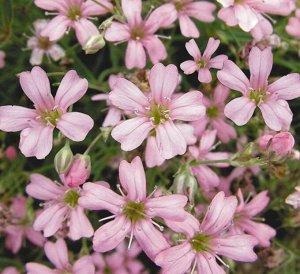 Цветы Гипсофила Роуз (0,1г)