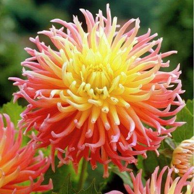 Георгины-гиганты d=25см_Проф серия_Авиа — Георгины кактусовые — Декоративноцветущие