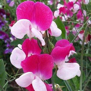 Цветы Душистый горошек Принцесса (6шт)
