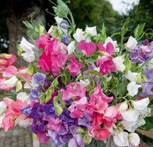 Цветы Душистый горошек Формула любви (10шт)
