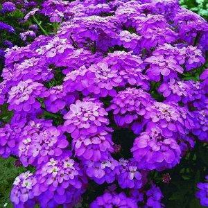 Цветы Иберис Розовый сон (0,2г)