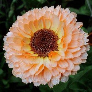 Цветы Календула Розовый сюрприз (0,5г)