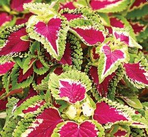 Цветы Колеус Визард Роуз (10шт)