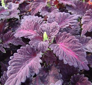Цветы Колеус Дрэгон Блэк (10шт)